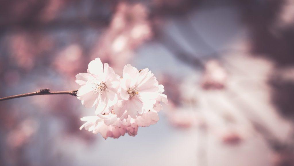 Zdjęcie. Kwitnące różowo-białe kwiaty na drzewie.