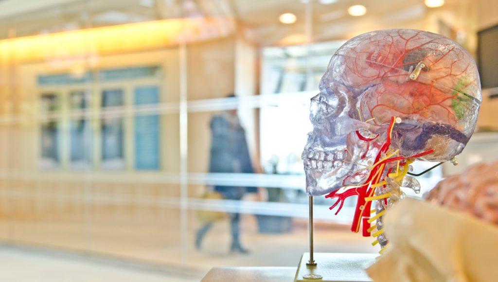 Model czaszki ludzkiej i mózgu